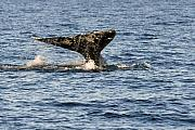 Whale Photo Originals - Gray Whale Fluke by Alan Lenk