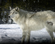 Wolf Photograph Prints - Gray Wolf 8 Print by Anthony Jones