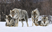 Animals And Earth Metal Prints - Gray Wolf Canis Lupus Group, Norway Metal Print by Jasper Doest