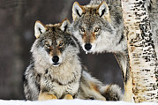 Canis Sp. Framed Prints - Gray Wolf Canis Lupus Pair In The Snow Framed Print by Jasper Doest