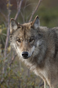 Canidae Photos - Gray Wolf Canis Lupus Portrait, Alaska by Michael Quinton