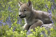 Canis Sp. Framed Prints - Gray Wolf Canis Lupus Pup Amid Lupine Framed Print by Tim Fitzharris