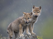 Carnivores Posters - Gray Wolf Canis Lupus Pups In Light Poster by Tim Fitzharris