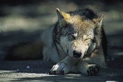 Roosting And Resting Posters - Gray Wolf Dozing Poster by Joel Sartore