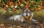 Indiana Autumn Digital Art Prints - Gray Wolf in Autumn Print by Sandy Keeton