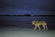 Ocean Mammals Metal Prints - Gray Wolf On Beach At Twilight Metal Print by Joel Sartore