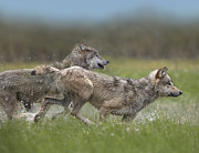 Three-quarter Length Prints - Gray Wolf Pair Running Through Water Print by Tim Fitzharris