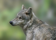 Wolf Digital Art Posters - Gray Wolf  Poster by Sandy Keeton
