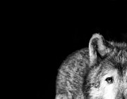 Black. Timber Wolf Photography Prints - Gray Wolf Stare Photo Ive Got My Eye on You Print by Stephanie McDowell