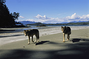 Canis Lupus Posters - Gray Wolves On Beach Poster by Joel Sartore