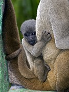 Neotropics Posters - Gray Woolly Monkey Baby Poster by Tony Camacho
