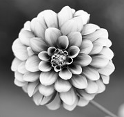 Black And White Photography Metal Prints - Graytones Flower Metal Print by Photography PÃ¥