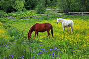 Brown Horse Posters - Grazing Amongst the Wildflowers Poster by Karol  Livote