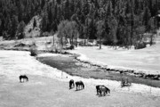 Colorado Mixed Media Prints - Grazing BW Print by Angelina Vick