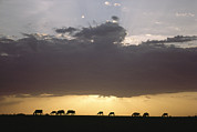 Silhouettes Metal Prints - Grazing Cattle Silhouetted Metal Print by James P. Blair