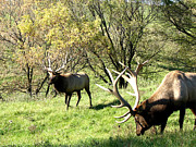 Roaming Originals - Grazing Elk  by The Kepharts