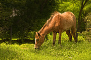 Grazing Horse Photo Posters - Grazing Horse Poster by Charuhas Images