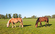 Beautiful Manes Prints - Grazing horses in a sunny meadow Print by Ruud Morijn