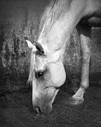 Quarterhorse Posters - Grazing in Black and White Poster by Betty LaRue