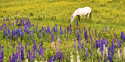 Peggie Strachan - Grazing in the Lupine...