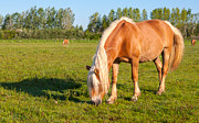 Beautiful Manes Prints - Grazing mare with long blonde manes Print by Ruud Morijn