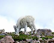 D Winston - Grazing Mountain Goat on...