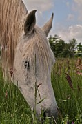 White Unicorn Photos - Grazing by Odd Jeppesen