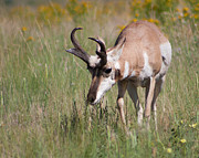 Pronghorn Photos - Grazing Pronghorn by Katie LaSalle-Lowery