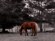 Grazing Horse Digital Art Posters - Grazing Ranch Horse Poster by Ms Judi