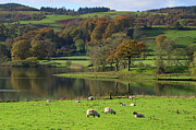 Coniston Art - Grazing Sheep, Coniston Water, Cumbria by Louise Heusinkveld