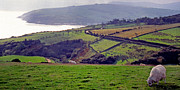 Panoramic Digital Art - Grazing Sheep County Antrim by Thomas R Fletcher