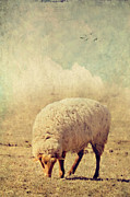Sheep Prints Posters - Grazing Sheep Poster by Kathy Jennings