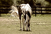 Susan Leggett Metal Prints - Grazing Stallion Metal Print by Susan Leggett