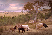 Australian Landscape Prints - Grazing the Hills Print by Mark Richards