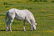 Natuur Photos - Grazing white horse by Ruud Morijn