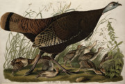 Hen Paintings - Great American Hen and Young by John James Audubon