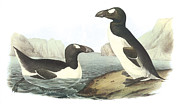 Lithograph Framed Prints - Great Auk Framed Print by John James Audubon