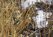 Reed Bed Prints - Great Bittern In Reed Bed Print by Duncan Shaw