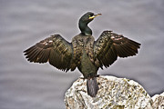 Waterbirds Framed Prints - Great Black Cormorant II Framed Print by Heiko Koehrer-Wagner