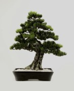 Pine Sculptures - Great Black Pine by Julio Cesar