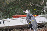 Travis Truelove Photography Prints - Great Blue Heron - Chicken of the Sea Print by Travis Truelove