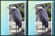Crossview Framed Prints - Great Blue Heron - Gently cross your eyes and focus on the middle image Framed Print by Brian Wallace