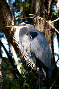David Adamson - Great Blue Heron 1
