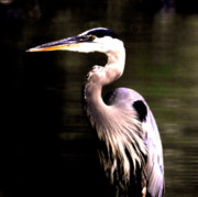 Morning Digital Art Originals - Great Blue Heron by Adam Shevron