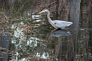 Pond Photos - Great Blue Heron and Reflection III by Suzanne Gaff