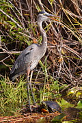 Blue Pond Prints - Great Blue Heron and Turtle Print by Bruce J Robinson