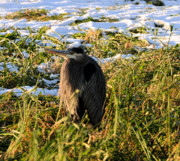 LAWRENCE CHRISTOPHER - GREAT BLUE HERON AT REIFEL