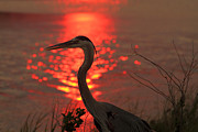 Phil Lanoue Acrylic Prints - Great Blue Heron at Sunset Acrylic Print by Phil Lanoue