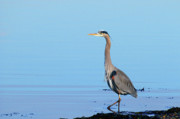 Gbh Posters - Great Blue Heron at the Beach Poster by Sharon  Talson