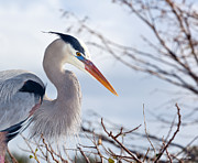 Blue Heron Framed Prints - Great Blue Heron at Wakodahatchee Wetlands Framed Print by Michelle Wiarda